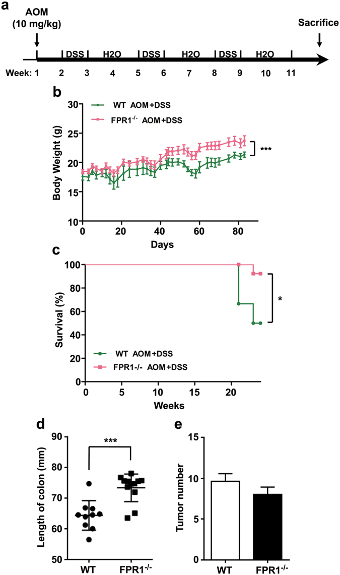 FPR1 involvement in mouse survival in a colorectal cancer model. ( a ) Schematic representation of the mouse model of CRC, as described in the Materials and Methods section. Body weights ( b ) and survival ( c ) of WT (green line) mice and fpr1 −/− (red line) mice with CRC. Also shown are quantification of colon length ( d ) and tumor number ( e ) in WT mice and fpr1 −/− mice with CRC. (6 mice for WT group; 13 mice for fpr1 −/− group).