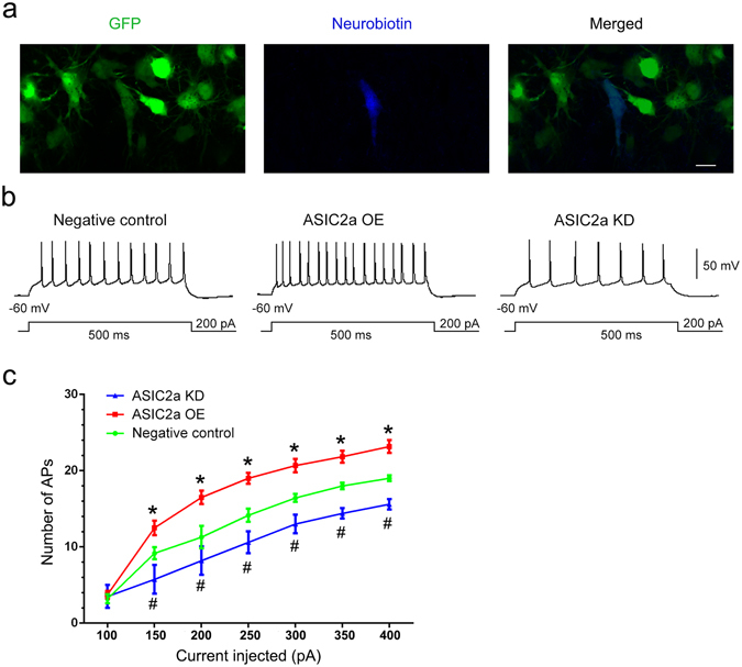 Changes in ASIC2a expression affected the intrinsic excitability of CA1 pyramidal neurons. ( a ) Confocal images of CA1 pyramidal neurons expressing GFP (green) and labelled with neurobiotin (blue). Scale bar = 10 μm. ( b ) Representative traces of action potential firing in response to 200 pA current injections in CA1 pyramidal neurons of the negative control, ASIC2a overexpression, and ASIC2a knockdown groups, respectively. ( c ) Number of action potentials in CA1 pyramidal neurons from the various groups at different current injection steps. Data are presented as means ± standard errors and were analysed using 1- or 2-way ANOVA and Dunnett's multiple comparisons test. *P