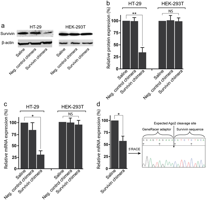 EpCAM aptamer-guided RNAi effectively silenced survivin. ( a ) Specificity and efficacy of EpCAM-aptamer guided RNAi in knocking down survivin mRNA. Chimera or negative control chimera were incubated with HT-29 or HEK-2913T cells for 24 hours and the total RNA was extracted for qRT-PCR analysis of survivin mRNA levels. GAPDH was used as an internal control. ( b , c ) HT-29 Tumour-bearing mice were treated with 2 nmol/mouse of PEG-labelled chimera for 48 hours. The tumours were collected for RNA extraction followed by qRT-PCR analysis of survivin mRNA expression ( b ) and 5′RACE assay ( c ). ( d ) Effective downregulation of survivin protein via EpCAM aptamer-guided RNAi. Chimera or negative control chimera were incubated with HT-29 or HEK-2913T cells for 48 hours and the survivin protein levels were analyzed using Western blot analysis. β-actin was used as a loading control. ( e ) The bar graph shows the survivin protein levels in various treatment groups. Data shown are means ± SEM, n = 3. * p