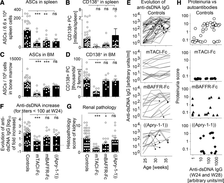 mTACI‐Fc is more effective than mBAFFR‐Fc in diminishing the bone marrow PC compartment and in preventing autoantibody increase and renal immunopathology in NZB/NZW F1 mice. (A). Antibody secreting cells (ASC) retrieved from spleens of 37‐week‐old NZB/NZW F1 mice subjected to the indicated treatments, as determined by ELISPOT. n for controls/TACI‐Fc/BAFFR‐Fc/Apry‐1‐1 were 25/15/11/4. Values were obtained from titrations performed in triplicates. (B). Numbers of PCs (CD138 + ) derived from spleens of NZB/NZW F1 mice. Absolute cell numbers were determined by FACS from specimens taken at termination of the experiment and included analyses of animals that had been sacrificed at earlier times throughout the duration of the study. n for controls/TACI‐Fc/BAFFR‐Fc/Apry‐1‐1 were 44/15/15/14. (C). Same as panel A, but for the bone marrow of 37‐week‐old mice. (D). Same as panel B, but for absolute numbers of CD138 + cells in the bone marrow of two femurs and for 37‐week‐old mice only. n for controls/TACI‐Fc/BAFFR‐Fc/Apry‐1‐1 were 25/15/11/4. (E). Evolution of anti‐dsDNA IgG levels in groups of control and treated mice. Mice that had to be sacrificed before week 37 are indicated with black circles. n for controls/TACI‐Fc/BAFFR‐Fc/Apry‐1‐1 were 44/15/15/14. (F). Log 10 of fold change of anti‐dsDNA levels between week 24 and week 37. Only NZB/NZW F1 mice with less than 100 arbitrary units of anti‐dsDNA antibody at week 24 were included in this analysis. n for controls/TACI‐Fc/BAFFR‐Fc/Apry‐1‐1 were 28/10/12/8. (G). Renal histology scores for the different treatment groups at sacrifice (week 37 or earlier). n for controls/TACI‐Fc/BAFFR‐Fc/Apry‐1‐1 were 45/15/15/15. (H). Relationship between anti‐dsDNA titers at early time points (average of titers measured at weeks 24 and 28) and a proteinuria score taking into account timing of apparition and severity of proteinuria. n for controls/TACI‐Fc/BAFFR‐Fc/Apry‐1‐1 were 43/15/15/14. Panels A‐H are from an experiment that was performed on