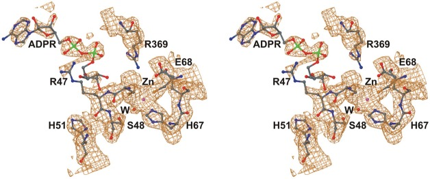 Complex of the apoenzyme with adenosine <t>5′-diphosphoribose</t> (ADPR). The stereoview is derived from PDB entry 5VKR. The 2| F o | – | F c | map is contoured at ∼0.25 e – /Å 3 .