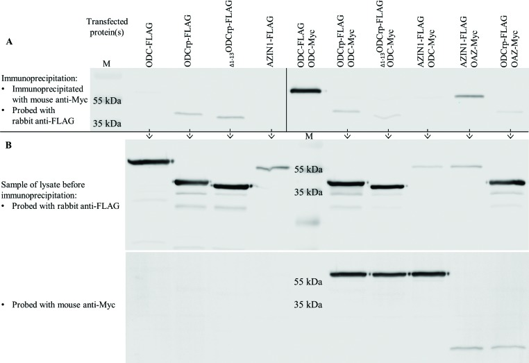 ODC and OAZ co-immunoprecipitation and visualization by immunoblotting Cos-7 cells were transfected with cDNAs encoding tagged proteins. Panel ( A ) shows proteins immunoprecipitated with mouse anti-Myc antibody and immunoblotted with rabbit anti-FLAG antibody. The left side in panel (A) shows a negative control with only FLAG-tagged proteins. Although the negative controls should be clear, faint ODCrp and Δ1–13 ODCrp bands can be seen due to unspecific binding. The fact that the bands are equally faint in the co-immunoprecipitation samples (right side in panel (A)) shows that ODCrp does not co-precipitate with ODC or OAZ, indicating that ODCrp does not form stable heterodimers. Panel ( B ) shows pre-immunoprecipitation samples probed with anti-FLAG (upper) and anti-Myc (lower) antibodies to verify the presence of transfected proteins. The samples in panel (B) are in the same order as in panel (A), except for the positive ODC – ODC control, which is replaced with marker.