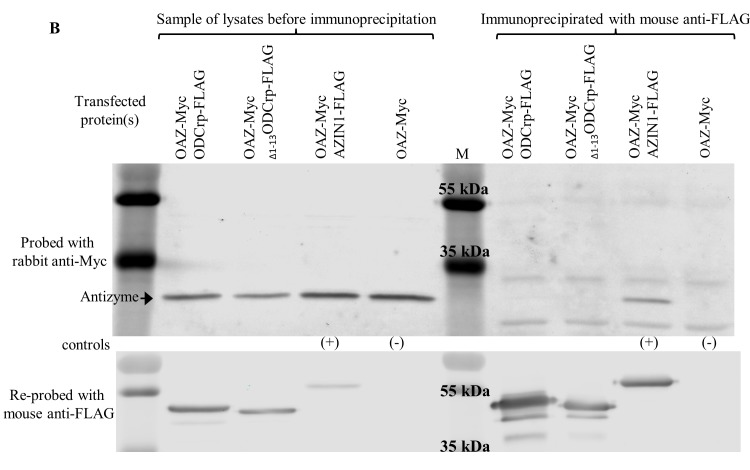 ODC and OAZ co-immunoprecipitation and visualization by immunoblotting. Panel A and B show reciprocal experiment of that represented in Fig. 6 in main text. Cos-7 cells were transfected with cDNAs encoding tagged proteins. To the right of the marker (M) are proteins immunoprecipitated with mouse anti-FLAG antibody and immunoblotted with rabbit anti-Myc antibody. Pre-immunoprecipitation samples are to the left of the marker. Pre-immunoprecipitation samples were immunoblotted with both anti-FLAG and anti-Myc antibodies to verify the presence of transfected proteins. In panel A , only ODC-FLAG co-precipitated with ODC-Myc, indicating that ODCrp and Δ1–13 ODCrp do not form stable dimers with ODC. In panel B , only AZIN1-FLAG co-precipitated with OAZ-Myc, verifying that ODCrp and Δ1–13 ODCrp do not form stable dimers with OAZ.
