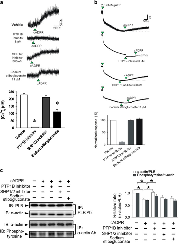 Effects of a PTP1B inhibitor, an SHP1/2 inhibitor and stibogluconate on cADPR-induced increase in resting [Ca 2+ ] i in isolated rabbit ventricular myocytes ( a ) and isolated SR vesicles ( b ). ( a ) Fura 2- AM loaded myocytes were incubated with 8 μ M PTP 1B inhibitor, 300 n M SHP1/2 PTPase inhibitor or 11 μ M sodium stibogluconate for 10 min before perfusion with cADPR. Columns with vertical bars represent a quantitative summary of the maximum [Ca 2+ ] i increase after cADPR addition from five experiments. * P