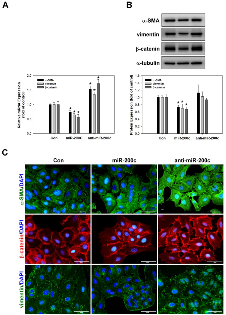 miR-200c suppresses the expression of EMT-associated proteins in A549 cells. A miR-200c mimic or inhibitor was applied to A459 cells for 24h and then the mRNA and protein expression levels of α-SMA, vimentin, and β-catenin were measured by real-time PCR (A), western blotting (B), and immunocytochemical staining (C). *p
