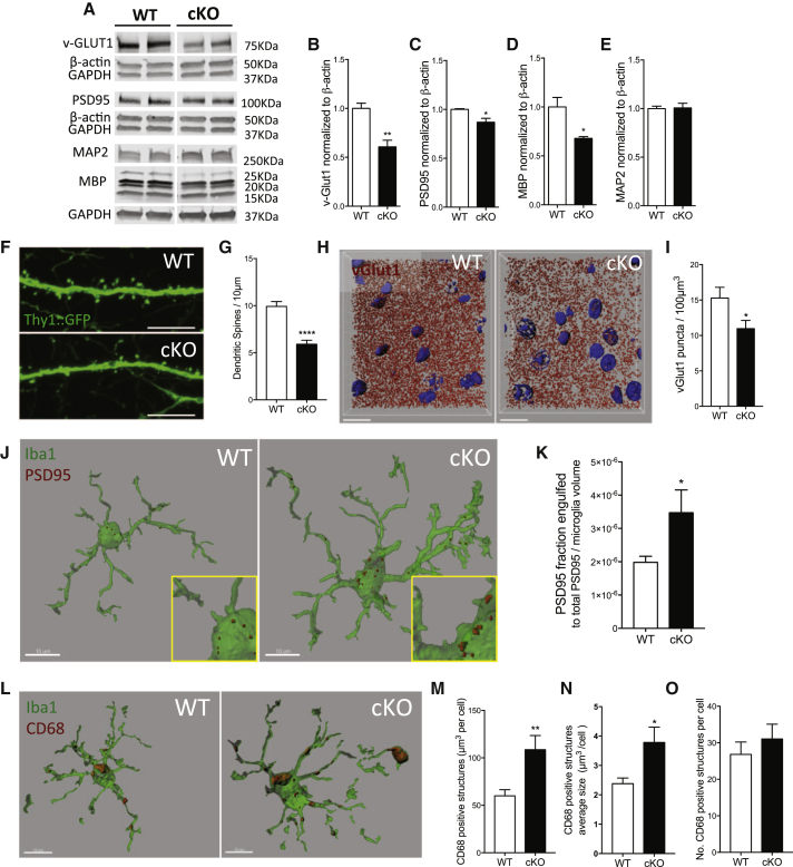 Selective Depletion of TDP-43 from Microglia Results in Enhanced Synaptic Loss in Mice Even in the Absence of Amyloid (A–E) Representative blots of synaptic markers in the motor/somatosensory cortex of WT and cKO 8-month-old mice (A) and relative quantification for vGlut-1 (B), PSD95 (C), MBP (D), and MAP2 (E) normalized to β-actin reference gene. Mean ± SEM, n = 3–4 mice per genotype, ∗ p