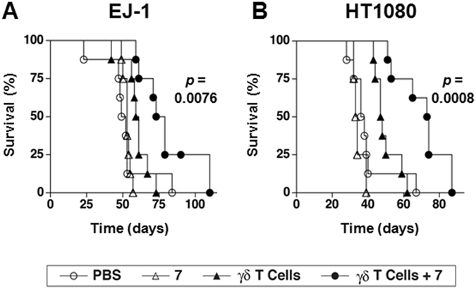 Combination therapy with compound 7 and γδ T cells prolongs survival of immunodeficient NOG mice inoculated with either human EJ-1 bladder carcinoma cells or human HT1080 fibrosarcoma cells. On day 0, NOG mice were inoculated i.p. with 1.0 × 10 6 EJ-1 or 1.0 × 10 6 HT1080 tumor cells that had been stably transfected with the luc2 luciferase. On day 3 and day 6, the mice were treated with either (1) PBS (⚪), (2) compound 7 (∆) (2 μg (97 μg/kg) for EJ-1 or 10 μg (485 μg/kg) for HT1080), (3) 2 × 10 7 γδ T cells (▴), or (4) 2 × 10 7 γδ T cells and compound 7 (⚫) (2 μg (97 μg/kg) for EJ-1 or 10 μg (485 μg/kg) for HT1080). This treatment regimen was repeated for the duration of the experiment. ( A ) Survival of mice inoculated with EJ-1 cancer cells untreated or treated as above. Pooled data from two experiments performed identically is shown, n = 8 mice per group. ( B ) Survival of mice inoculated with HT1080 cancer cells untreated or treated as above. Pooled data from two experiments performed identically is shown, n = 8 mice per group except for mice treated with compound 7 where 4 mice were used. γδ T cells expressing Vγ2 Vδ2 TCRs (95–98% of transferred cells) were expanded from PBMC from a single donor and frozen for later use. Significance is shown for the survival difference between γδ T cells and compound 7 compared with γδ T cells alone as determined by the log-rank test.