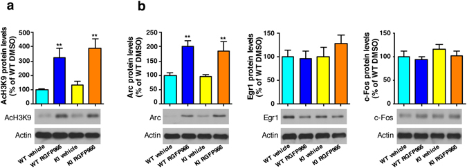RGFP966 treatment induces Arc but not Egr1 or c-Fos protein levels in primary hippocampal cultures. (a ) Representative immunoblots showing histone H3 acetylation levels at position lysine 9 (AcH3K9) with actin as loading control and (b) Arc, Egr1 and c-Fos protein levels normalized to actin levels in DMSO and RGFP966 treated primary hippocampal cultures obtained from Hdh Q7/Q7 (WT) and Hdh Q7/Q111 (KI) embryos. The blots in (a and b) are cropped; full-length images are provided in Supplementary Figure 3 . ** p
