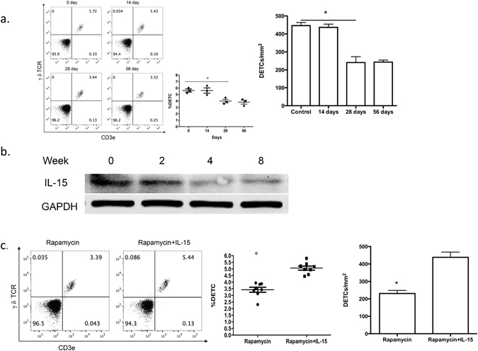 Addition of IL-15 recovers rapamycin-mediated abnormal DETC homeostasis. ( a,b ) 6–8 weeks wild-type male C57BL/6J mice were administered rapamycin or vehicle control daily for 8 weeks. At 8 weeks after administration of the vehicle control and at, 2, 4, and 8 weeks after rapamycin treatment, epidermal sheets were obtained for assessing the number of DETCs by FACS (panel a) and the production of IL-15 by Western analysis (panel b). ( c ) IL-15 (1 μg) or vehicle control was intradermally injected daily on the back skin of rapamycin-treated mice for 3 days, and epidermal sheets were excised for assessing the number of DETCs by FACS. All data represent at least three independent experiments and each experiment includes 6 animals (3 control and 3 experimental mice). All error bars represent mean ± SEM. * P