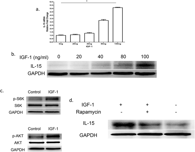 IGF-1 regulates keratinocyte-derived IL-15 in an mTOR-dependent manner. ( a,b ) Primary keratinocytes were isolated from newborn C57BL/6J male wild-type mice, and CD11c + cells were depleted by MACS. These cells were cultured for 1 day in 0, 20, 40, 80, or 100 ng/ml IGF-1. IL-15 was assessed at the mRNA level by real-time PCR (panel a) and at the protein level by Western blotting (panel b). ( c ) Phosphorylated and total S6K, and Akt in keratinocytes were measured in the presence or absence of IGF-1 (100 ng/ml, for 24 hours) by Western blotting. ( d ) Analysis of IGF-1-induced IL-15 production suppression by rapamycin in keratinocytes after 24 h culture. All data represent at least three independent experiments. All error bars represent mean ± SEM. * P