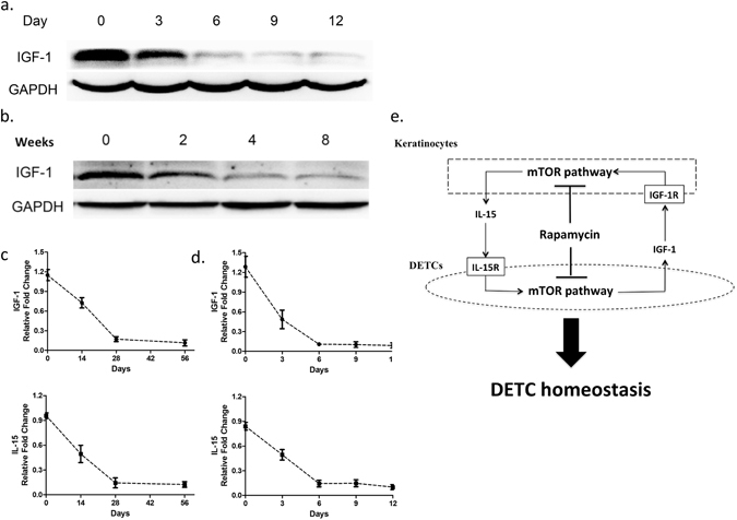 Both productions of IGF-1 and IL-15 in epidermis are regulated by mTOR pathway. ( a ) 6–8 weeks wild-type male C57BL/6 J mice were administered STZ daily for 6 days. At day 0 (no treatment), 3, 6, 9, and 12 after STZ treatment, epidermal sheets were obtained for detecting the production of IGF-1 by Western blotting. ( b ) Wild-type C57BL/6J mice were administered rapamycin daily for 8 weeks. At 0, 2, 4, and 8 weeks after rapamycin treatment, epidermal sheets were obtained for detecting the production of IGF-1 by Western blotting. ( c ) The kinetics of IL-15 and IGF-1 in rapamycin-treated mice is shown. ( d ) The kinetics of IL-15 and IGF-1 in STZ-treated mice is shown. All data represent at least three independent experiments and each experiment includes 6 animals (3 control and 3 experimental mice). All error bars represent mean ± SEM. * P