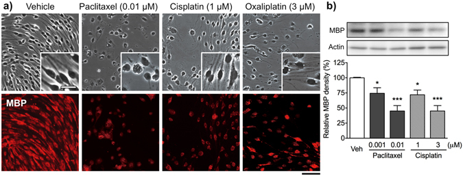 Effects of paclitaxel, cisplatin and oxaliplatin on Schwann cell morphology and MBP expression. ( a ) Phase ( upper ) and fluorescence ( lower ) micrographs of differentiated Schwann cells labeled with an anti-MBP antibody. Differentiated Schwann cells were treated with vehicle (0.1% DMSO), paclitaxel (0.01 μM), cisplatin (1 μM) or oxaliplatin (3 μM) for 48 h. Cisplatin and oxaliplatin reduced the number of MBP-positive Schwann cells, but did not affect cell morphology. Unlike cisplatin and oxaliplatin, paclitaxel induced morphological changes, characterized by retraction of bipolar processes and a rounded shape. Scale bar: 100 μm (25 μm in enlarged images). ( b ) Expression of MBP in Schwann cells 48 h after treatment with vehicle (0.1% DMSO), paclitaxel (0.001 and 0.01 μM) or cisplatin (1 and 3 μM) was analyzed by Western blotting. ( Upper panels ) Representative Western blot showing expression of MBP and actin. ( Lower panels ) Quantification of band intensity. The intensity of each band was normalized to that of actin (loading control). Each column represents the mean ± S.E.M. n = 5–8. * p