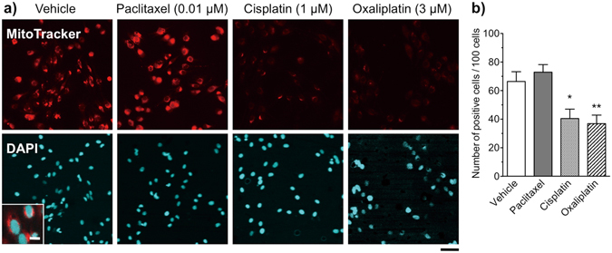 Changes in mitochondrial activity in Schwann cells after treatment with paclitaxel, cisplatin or oxaliplatin. ( a ) Fluorescence micrographs of Schwann cells labeled with the MitoTracker probe (red) and DAPI (blue). Schwann cells were treated with vehicle (0.1% DMSO), paclitaxel (0.01 μM), cisplatin (1 μM) or oxaliplatin (3 μM) for 48 h. Scale bar: 50 μm (10 μm in enlarged images) in the vehicle-treated group. ( b ) Number of mitochondria-labeled cells per 100 DAPI-positive cells. The intensity and number of fluorescently labeled mitochondria were reduced after treatment with either cisplatin or oxaliplatin, but not after treatment with paclitaxel. Each column represents the mean ± S.E.M. n = 12. * p