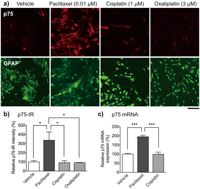 Effect of paclitaxel, cisplatin and oxaliplatin on expression of p75 in primary cultured Schwann cells. Schwann cells were treated with vehicle (0.1% DMSO), paclitaxel (0.01 μM), cisplatin (1 μM) or oxaliplatin (3 μM) for 48 h. ( a ) Immunofluorescent staining of primary cultured Schwann cells for p75 (red) and GFAP (green). Scale bar: 100 μm. ( b ) p75-IR in Schwann cells. Each column represents the mean ± S.E.M. n = 3. *** p