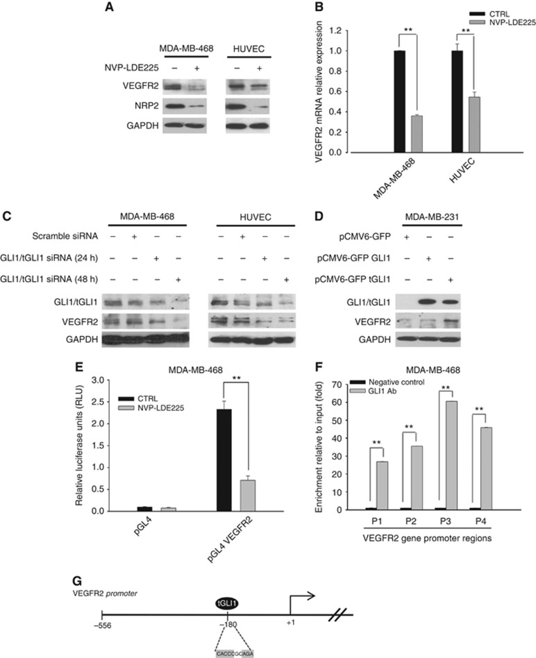 GLI1 regulates VEGFR2 expression. ( A ) Western blot analysis of protein expression in MDA-MB-468 and HUVEC cells treated with NVP-LDE225 (2.5 μ M ). ( B ) Relative expression of sVEGFR2 mRNA in MDA-MB-468 and HUVEC cells treated with NVP-LDE225 (2.5 μ M ), as performed by real-time RT–PCR (qRT-PCR) analysis. Data were calculated with mean cycle threshold (CT) values, normalised to endogenous control. Data represent the mean (±s.d.) of three independent experiments, each performed in triplicate. ( C ) Western blot analysis of protein expression in MDA-MB-468 and HUVEC cells, 24 and 48 h after transfection with scramble or GLI1 siRNA pool (50 nmol l −1 ) using DharmaFECT 1 Transfection Reagent in DMEM. ( D ) Western blot analysis of protein expression in MDA-MB-231 cells, 24 h after transfection with either pCMV6-GFP empty vector, pCMV6-GFP GLI1 or pCMV6-GFP tGLI1 plasmids using lipofectamine 2000 in DMEM. ( E ) Relative luciferase units in MDA-MB-468 cells transfected with the empty pGL4 plasmid or the pGL4 plasmid containing 500 bp fragment of VEGFR2 promoter, and treated with NVP-LDE225 5 μ M for 24 h after transfection. Luciferase activity was determined 48 h after transfection. Results were the average of three independent experiments. ( F ) Chromatin immunoprecipitation (ChIP) assay in MDA-MB-468 cells by using a GLI1 antibody and primers specific for the VEGFR2 promoter. Results were reported as fold change compared to negative control (no antibody); results were the average of three independent experiments. Bars, s.d. Asterisks indicate statistical significance, as determined by the Student t -test (** P