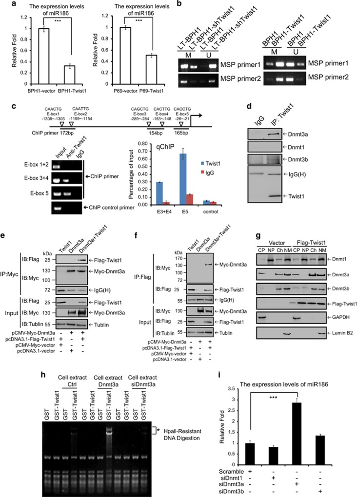 Twist1 represses miR186 in a negative feedback loop through directly interacting with and recruiting Dnmt3a to the miR186 promoter. ( a ) Real-time PCR analysis for the relative expression of miR186 in BPH1-Vector and BPH1-Twist1, or P69-Vector and P69-Twist1 cells. *** P -values