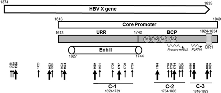 Schematic representation of the <t>HBV</t> X gene breaking points forming junctions with the human genomic sequences. Slim arrows identify breaking points which formed junctions detected in single clones, whereas bold arrows represent those identified in multiple clones. Four black circles depict HBV TATA elements. BCP, basal core promoter; DR, direct repeat region; Enh-II, HBV enhancer II region; Pg <t>RNA,</t> pre-genomic RNA; URR, upstream regulatory region. Numbers mark nucleotide positions according to HBV DNA GenBank X70185 sequence.