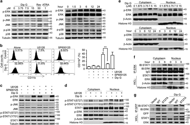 Nuclear translocation of p-STAT1 (Ser727) driven by extracellular signal–regulated kinase (ERK) activation. ( a ) HL-60 cells were treated with the indicated compounds for 24 h or with Dip G (7.5 μ M) for the indicated times. Mitogen-activated protein kinase signaling in the whole-cell lysates were analyzed using western blotting. Tubulin was used as a loading control. ( b ) HL-60 cells were treated with Dip G (7.5 μ M) in the absence or presence of U0126 (1 μ M) or SP610025 (10 μ M) for 72 h. CD11b expression was detected using flow cytometry. Right panel: the percentage of cells expressing CD11b. Data are shown as the mean±S.E.M. of three independent experiments. * P
