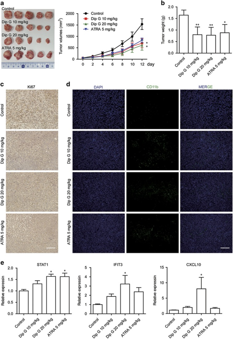 In vivo therapeutic efficacy of Dip G. HL-60 cells were injected subcutaneously into the right flank of NOD/SCID mice. Two weeks later, tumor-bearing mice were distributed into four groups and treated with various doses of Dip G or ATRA intraperitoneally daily for an additional 12 days. ( a ) Tumor volumes were monitored and recorded every 2 days ( n =8–10 mice per group). Left panel: Representative images of the tumors. ( b ) Tumors excised on day 13 were weighed. Tumors excised on day 13 were stained with an antibody specific for ( c ) Ki67 and ( d ) CD11b. Scale bar, 100 μ m. ( e ) The mRNA expression of STAT1, IFIT3 and C-X-C motif chemokine ligand 10 (CXCL10) was detected in tumors excised on day 13 using quantitative real-time reverse transcriptase-CR analysis. Glyceraldehyde 3-phosphate dehydrogenase was used as an internal control. Data are shown as the mean±S.E.M. of three independent experiments. * P