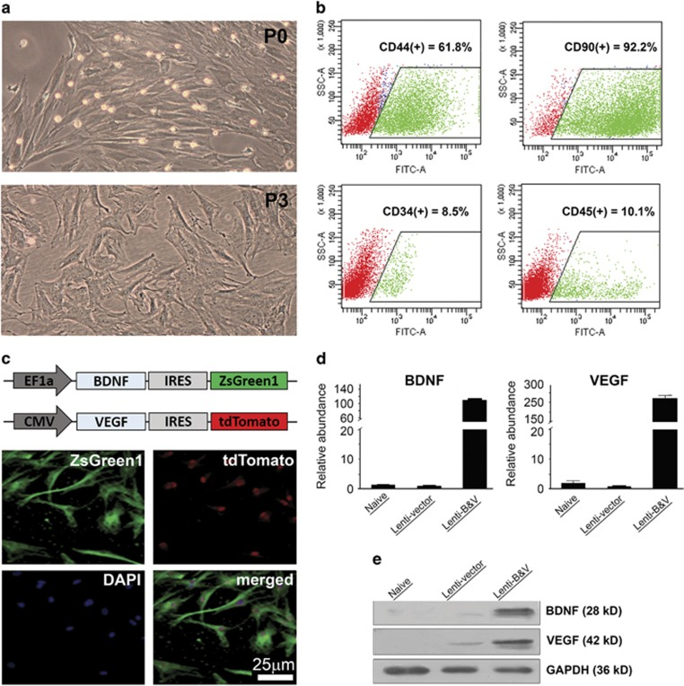 Characterization of cultured rat BMMSCs and detection of lentivirus-mediated overexpression of BDNF and VEGF. ( a ) Representative phase-contrast micrographs show the morphology of rat BMMSC cultures at passage 0 (P0) and passage 3 (P3); ( b ) Flow cytometry analysis shows the majority of BMMSCs at P3-expressing stem cells markers CD44 and CD90, and a small portion of cells expressing CD34 and CD44; ( c ) Schematics (on the top) show the expression cassette with either rat brain BDNF exon IV or VEGF-A open reading frame coding sequence followed by an IRES-directed ZsGreen1 and tdTomato fluorescent protein coding sequences in the lentivirus constructs, respectively; fluorescence micrographs (four panels in the bottom) show that transduced BMMSCs co-express both ZsGreen1 (green) and tdTomato (red) fluorescent proteins; ( d ) RT-qPCR results show the relative abundance of BDNF and VEGF mRNAs in un-transduced (naive) BMMSCs as well as 48 h after transduction with an empty lentiviral vector (Lent-vector) or BDNF- VEGF lentivirus-co-transduced (Lenti-B V). Data are depicted as mean±S.D.; ( e ) Western blots of whole-cell lysates detect markedly increased levels of BDNF and VEGF in cells co-transduced with both BDNF- and VEGF-lentiviruses