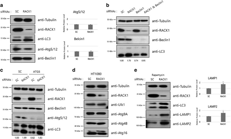 RACK1 depletion-induced autophagy is non-canonical. ( a ) HT1080 cells transfected with control or RACK1 siRNAs (50 pmol) were incubated for 48 h, followed by immunoblot analysis using the indicated antibodies (left panel). Intensities of Atg5/12 and Beclin1 proteins were normalized against that of tubulin proteins, and the relative expressions in RACK1 siRNA-treated cells compared with that in control cells were plotted (right panel). ( b ) HT1080 cells were transfected with siRNAs against control or RACK1 in combination with or without Beclin1 siRNA (100 pmol). After 48 h, these cells were analyzed by immunoblotting using the indicated antibodies. ( c ) HT1080 cells were transfected with control or Atg5 siRNA (100 pmol). After 24 h, the cells were re-transfected with control or RACK1 siRNA. After a further 48 h incubation, the cell extracts were subjected to immunoblot analysis using the indicated antibodies. ( d ) HT1080 cells transfected with control or RACK1 siRNAs (50 pmol) were incubated for 48 h, followed by immunoblot analysis using the indicated antibodies. ( e ) HT1080 cells transfected with control or RACK1 siRNAs (50 pmol) were incubated for 24 h. Extracts of siRNA-transfected cells were pretreated with rapamycin 1 μM for 24 h, followed by immunoblot analysis using the indicated antibodies. Intensities of LAMP1 and LAMP2 proteins were normalized against that of tubulin proteins, and the relative expressions in RACK1 siRNA-treated cells compared with that in control cells were plotted. * P