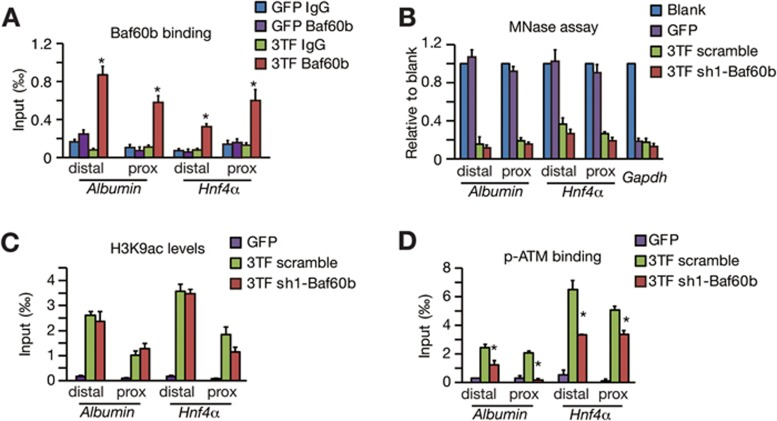 Baf60b links chromatin opening and ATM activation. (A) The binding of Baf60b at the regulatory regions of the Albumin and Hnf4 α genes was determined by the ChIP-qPCR assay. (B) Chromatin opening at the Albumin and Hnf4 α genes was measured by the micrococcal nuclease (MNase) assay in Baf60b-knockdown (sh1-Baf60b) TTFs and scramble controls after 3TF transduction. (C) H3K9ac on the Albumin and Hnf4 α genes was examined in Baf60b-knockdown (sh1-Baf60b) TTFs and scramble controls by the ChIP-qPCR assay. (D) The binding of p-ATM to the Albumin and Hnf4 α genes was analyzed by the ChIP-qPCR assay. sh1-Baf60b-mediated Baf60b silencing attenuated the p-ATM binding. Data represent two independent experiments. Error bars indicate SD. * P