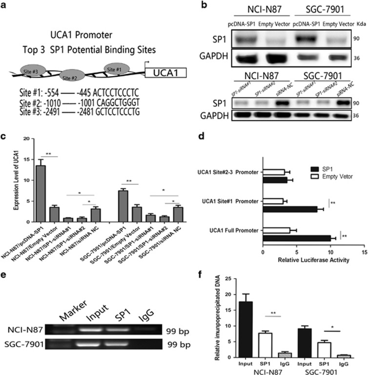 The transcription factor SP1 is involved in UCA1 upregulation. ( a ) The predicted top three positions of putative SP1-binding sites in −2.5 kb human UCA1 promoter from JASPAR database. ( b ) Upregulation of SP1 and slicing of SP1 by transfecting pcDNA-SP1 and SP1 siRNAs, respectively, which were determined by western blot in the protein expression level. ( c ) RT-PCR was used to determine the expression of UCA1 in cells transfected with pcDNA-SP1 and SP1 siRNAs, respectively. Error bars represent the mean±S.D. of triplicate experiments (* P