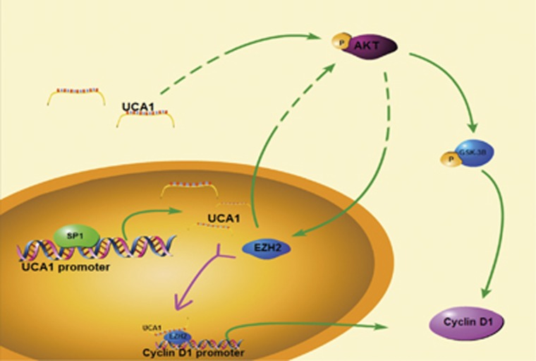 Schematic diagram illustrating signaling of EZH2 and its upstream activator and its downstream effectors in GC. SP1 directly binds to the core promoter of UCA1 so that it activates the expression of UCA1. UCA1 directly interacts with EZH2 and increase the expression of EZH2, which affects the activation of AKT/GSK-3B/cyclin D1 axis. EZH2 could also physically interact with the cyclin D1 promoter to promote the expression of cyclin D1. In addition, P-AKT could indirectly influence the expression of EZH2 so as to form a positive feedback loop with EZH2. With the accumulation of cyclin D1, G1/S transition was activated to promote cell proliferation and cancer progression