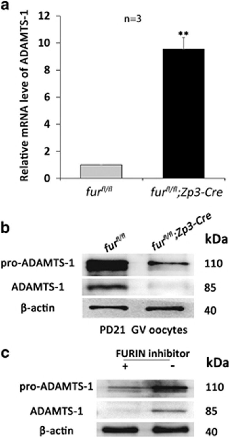Oocyte-specific deletion of furin causes loss of the mature form of ADAMTS1 in oocytes. ( a ) qRT-PCR analysis of the mRNA expression of ADAMTS-1 in oocytes with the indicated genotypes. ** P
