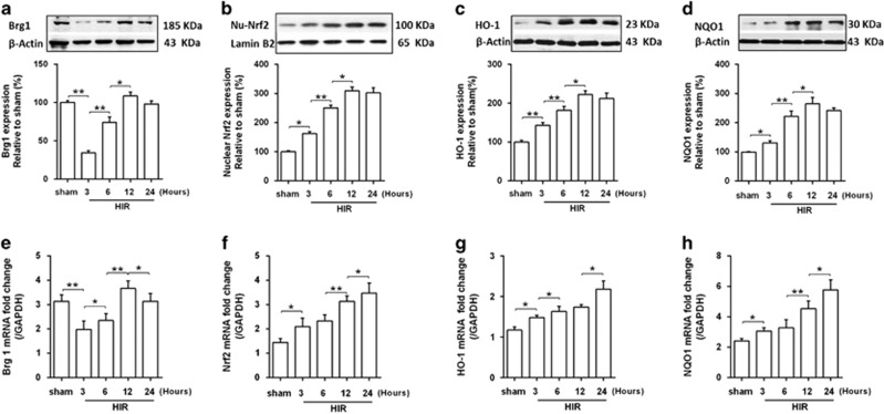 Expressions of Brg1, Nrf2 and Nrf2 downstream genes in the liver after hepatic I/R. ( a , b , c and d ) Western blot analysis showed that Brg1, nuclear Nrf2, HO-1 and NQO1 protein expressions were elevated in response to HIR in the liver at indicated time points. Representative images from one of three independent experiments were shown. Quantitative analyses of the results were also performed. ( e , f , g and h ) Transcript levels of Brg1, Nrf2, HO-1 and NQO1 in the liver in sham and HIR group were measured by RT-PCR. Each bar represents the mean±S.E.M. ( n=6 per group). * P
