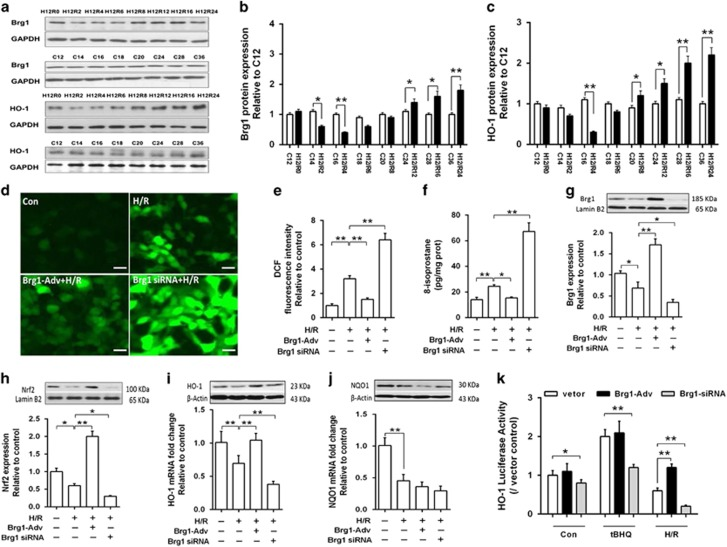 The role of Brg1 in AML12 cells subjected to H/R injury. ( a ) Western blot analysis showed the cellular Brg1 and HO-1 protein expression in AML12 hepatocytes subjected to hypoxia for 12 h and reoxygenation for 0 (H12R0), 2 (H12R2), 4 (H12R4), 6 (H12R6), 8 (H12R8), 12 (H12R12), 16 (H12R16) and 24 h (H12R24) before sample collection in comparison with the cells cultured for the same time as control (namely, C12, C14, C16, C20, C24, C28 and C36, representing 12–36 h of culture). The proteins from the H/R groups and from the control groups were loaded in the same gel when performing western blotting assay and displayed in parallel to facilitate comparison. Representative images from one of three independent experiments were shown. ( b and c ) Quantitative measurement of band intensity in a by densitometry analysis. ( d ) Fluorescence immunostaining of DCF in cells with Brg1 overexpression using Brg1-Adv transfection, and elevated in cells with Brg1 knockdown using Brg1-siRNA transfection during H/R (H12R4) injury. Representative images from one of three independent experiments were shown. ( e ) Bar graph showing the change in DCF fluorescent intensity. ( f ) ELISA assay showed that 8-isoprostane level was decreased after Brg1-Adv treatment and increased by Brg1-siRNA transfection during H/R (H12R4) injury. ( g and h ) Western blot analysis showed the change of Brg1 and Nrf2 protein expression in AML12 cells, respectively, under condition of Brg1 overexpression or knockdown. Representative images were shown and quantitative measurements were performed. ( i and j ) Western blot and RT-PCR analysis showed the protein and mRNA level of HO-1 and NQO1 in response to Brg1 overexpression or knockdown during cell H/R (H12R4) injury. ( k ) HO-1 promoter-driven luciferase activity assay was performed and tBHQ (20 μ M) was used as Nrf2 nuclear translocation positive control. Data are mean±S.E.M. of three independent experiments each performed in triplicate. * P