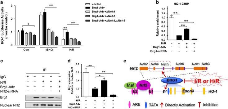 HO-1 promoter was regulated by Brg1/Nrf2 upon hepatocytes H/R. ( a ) AML12 cells were transfected with PGL3-HO-1-Luc, Brg1-Adv expression plasmids, Neh4 and/or Neh5 Nrf2 deletion mutants (△Neh4/△Neh5) without or with hypoxia for 12 h and reoxygenation for 4 h. Transfections and HO-1 promoter-driven luciferase assays were performed and tBHQ (20 μ M) was used as Nrf2 nuclear translocation positive control. ( b ) AML12 hepatocytes were then pretreated without or with Brg1-siRNA, or Brg1-Adv and then subjected to hypoxia for 12 h and reoxygenation for 4 h before sample collection. ChIP analyses were performed with antibodies against Brg1 and primers for the HO-1 promoter regions. ( c and d ) Furthermore, hepatocytes were pretreated without or with Nrf2 siRNA and Brg-Adv, then subjected to hypoxia for 12 h and reoxygenation for 4 h, Co-IP analysis were also performed with antibody against Nrf2. IgG was used as a negative control. Quantitative measurement of Brg1 band intensity was performed by densitometry analysis. ( e ) Diagram of HO-1 promoter activated by Brg1/Nrf2 upon H/R. Both human and mouse HO-1 genes have two important distal enhancer regions, E1 and E2, located about 4 and 10 kbp upstream of the transcription start site. The dominant element in the E1 and E2 regions is the ARE, which mediates transcriptional activation in response to almost all HO-1 inducers tested. ARE represent binding sites of several transcription factors such as Nrf2. Under HIR condition, nuclear Brg1 interacts with Nrf2 via transactivation domain, Nrf2 ECH homology (Neh)4 and Neh5, which promotes Nrf2 binding to the ARE within the gene promoter of HO-1. Data are mean±S.E.M. of three independent experiments each performed in triplicate. * P