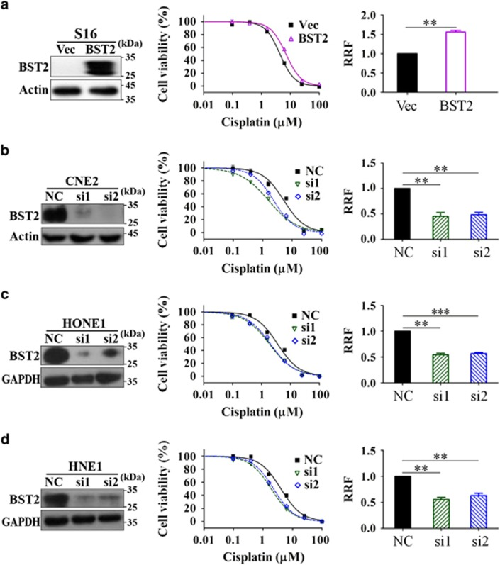 Contributions of BST2 to cisplatin resistance in nasopharyngeal cancer (NPC) cells. ( a ) S16 cells stably overexpressing BST2 or ( b ) CNE2, ( c ) HONE1 and ( d ) HNE1 cells transfected with BST2 siRNAs for 24 h were subjected to MTT assays, as described in Materials and Methods (Vec: empty vector transfected; BST2: BST2 overexpression; si1, si2, NC: BST2 siRNAs or negative control siRNA transfected). Left: western blotting (WB) analysis of BST2 expression at 48 h after siRNA transfection; actin or GAPDH was used as a loading control. Middle: representative dose-dependent cell viability curves. Right: averages of relative resistant factors (RRFs, the ratios of IC 50 value of experimental cells to that of control cells) in 3–5 independent experiments (** P