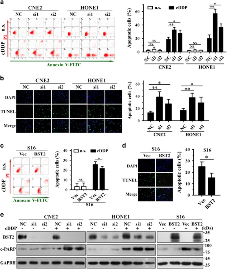 Effect of BST2 on cisplatin-induced apoptosis. NPC cells transiently transfected with siRNAs for 24 h or cells stably overexpressing BST2 were treated with cisplatin (cDDP) for 24 h, and apoptosis was analyzed. The experiments were independently repeated for 3–4 times. ( a , c ) Annexin-V-FITC/PI dual staining assay (left, representative plots for flow cytometry; right, bar charts indicating the average percentages of apoptotic cells). ( b , d ) TUNEL assays (left, representative immunofluorescent pictures; right, bar charts indicating the average percentages of apoptotic cells). ( e ) WB assays (c-PARP, cleaved PARP; GAPDH, a loading control). NC, negative control siRNA; si1, si2, BST2 siRNAs; Vec, empty vector transfected; BST2, BST2 overexpression; n.s., normal saline. * P