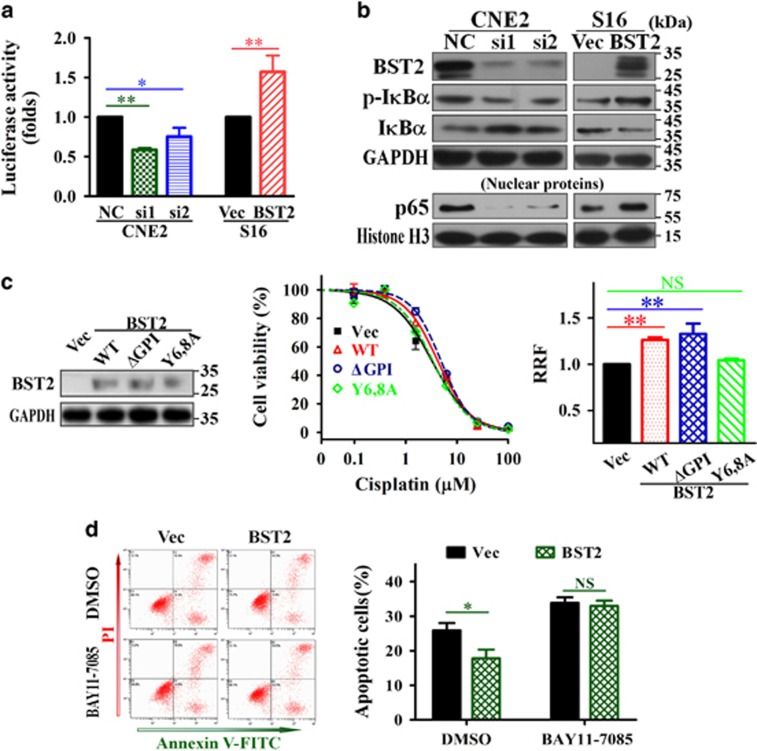 Activation of NF- κ B signaling by BST2 is required for cisplatin resistance in NPC cells. ( a ) NF- κ B activity assay. NPC cells were transfected with BST2 siRNAs (si1, si2) or cDNA (BST2) for 24 h followed by a luciferase reporter assay, as described in Materials and Methods. ( b ) WB assays for total I κ B α , phosphor-I κ B α (p-I κ B α ) and nuclear p65 levels (GAPDH and histone H3 were used as loading controls) in CNE2 cells transfected BST2 siRNAs or S16 cells transfected with BST2 cDNA for 48 h and treated with 10 μ M cisplatin for 24 h. ( c ) Effects of WT BST2 and BST2 mutants (ΔGPI and Y6,8A) on cisplatin resistance were investigated by MTT assays in S16 cells stably overexpressing WT BST2 or BST2 mutants (left, WB assay for BST2 expression; middle, representative dose-dependent cell viability curves; right, relative resistant factors). ( d ) inhibition of I κ B α phosphorylation reverses BST2-induced anti-apoptosis. After 24 h of treatment with 10 μ M cisplatin plus 10 μ M BAY11-7085 (DMSO was used as a vehicle control), apoptosis was analyzed by Annexin-V/PI dual staining (left, representative dot plots for flow cytometry; right, the percentages of apoptotic cells) in S16 cells stably expressing BST2. NC, negative control siRNA; si1, si2, BST2 siRNAs; Vec, empty vector-tranfected; BST2, BST2 overexpression;. * P