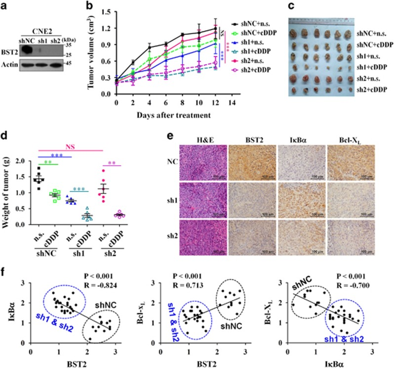 BST2 knockdown reverses cisplatin resistance of NPC cells in xenograft tumors in nude mice. CNE2 cells stably expressing two specific BST2 shRNAs (sh1, sh2) or scrambled control shRNA (shNC) were subcutaneously injected to generate xenograft tumors in nude mice; cDDP treatment was performed as described in Materials and Methods. Normal saline (n.s.) was used as the treatment control. ( a ) Western blot analysis for BST2 expression in stable cell lines. ( b ) Growth curves of tumor xenografts. ( c ) Images of xenograft tumors harvested at the end of the experiment. ( d ) The weights of tumors are presented as a Cleveland dot plot, and the average±S.D. is included ( n =6/group; ** P