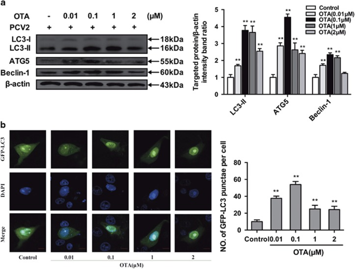 OTA induces autophagy in PK-15 cells. ( a ) PK-15 cells were inoculated with PCV2 for 24 h, OTA was then added at concentrations of 0.01, 0.1, 1, or 2 μ M, and incubation was continued for an additional 48 h. After collecting the cells, the expression of LC3, ATG5, Beclin-1 and  β -actin (loading control) was analyzed by immunoblotting with specific antibodies as described in Materials and Methods. The data are presented as means±S.E. of three independent experiments. Statistical significance compared with the control is indicated by * P
