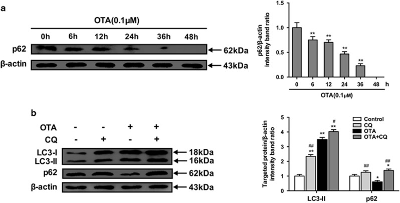 OTA treatment enhances autophagic flux. ( a ) PK-15 cells were inoculated with PCV2 for 24h and then inculated with OTA (0.1 μ M). At the indicated times after inoculation, the cells were collected, and the expression of p62 and  β -actin (loading control) was analyzed by immunoblotting with specific antibodies as described in Materials and Methods. The data are presented as means±S.E. of three independent experiments. Statistical significance compared with the control is indicated by * P