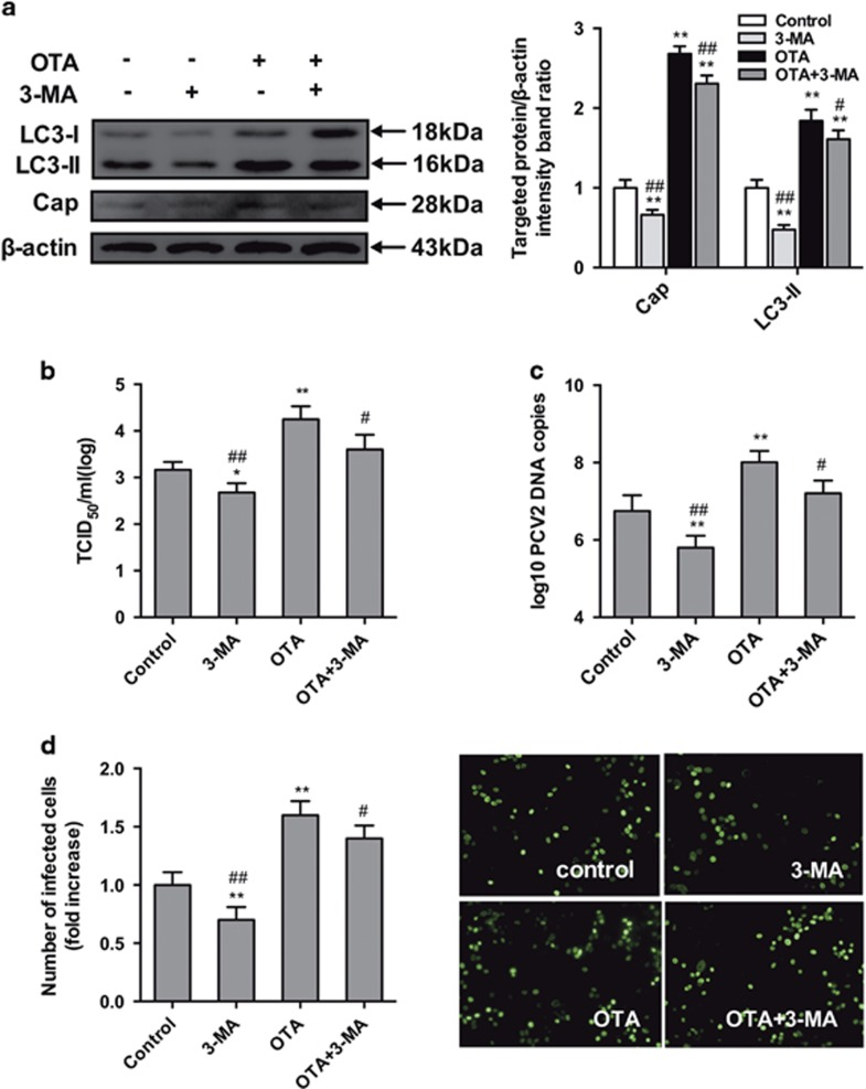 Inhibition of autophagy with 3-MA reverses PCV2 replication induced by OTA in PK-15 cells. PCV2-infected cells were incubated with OTA (0.1 μ M) with or without 3-MA (5mM). The cells were then assayed for ( a , b ) expression levels of LC3, Cap and  β -actin (loading control), ( c ) PCV2 viral titers, ( d ) PCV2 viral DNA copies and ( e ) the number of infected cells, as described in Materials and methods. The data are presented as means±S.E. of three independent experiments. Statistical significance compared with the control is indicated by * P