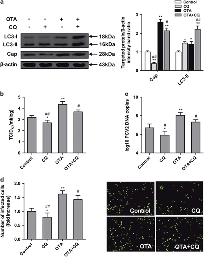 Inhibition of autophagy by CQ reverses PCV2 replication promotion induced by OTA in PK-15 cells. PCV2-infected cells were incubated with OTA (0.1 μ M) with or without CQ (5 μ M). Cells were assayed for ( a , b ) expression levels of LC3, Cap and  β -actin (loading control), ( c )PCV2 viral titers, ( d ) PCV2 viral DNA copies and ( e ) the number of infected cells as described in Materials and Methods. The data are presented as means±S.E. of three independent experiments. Statistical significance compared with the control is indicated by * P