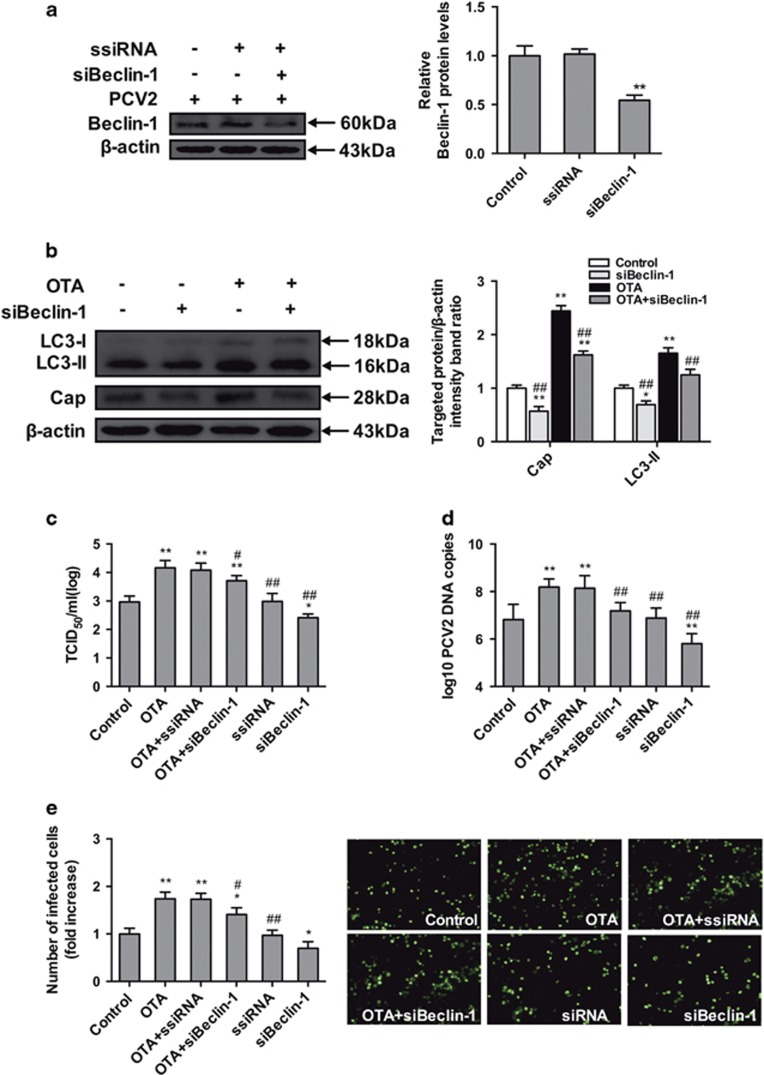 Inhibition of autophagy with siBeclin-1 reverses the PCV2 replication promotion induced by OTA in PK-15 cells. PCV2-infected cells were incubated with or without Beclin-1 siRNA. Cell were assayed for expression levels of ( a ) Beclin-1 and  β -actin (loading control). The data are presented as means±S.E. of three independent experiments. Statistical significance compared with the control is indicated by * P