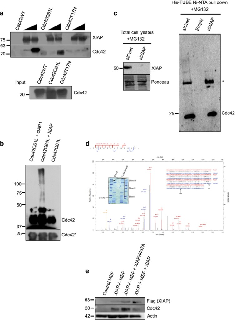 ( a ) Interaction between XIAP and different Cdc42 mutants was tested via an in vitro GST Pulldown assay. With GST protein as a control, two different concentrations of cleaved Cdc42 mutants were used to test the binding to GST tagged XIAP ( b ) In vitro ubiquitination of Cdc42 by XIAP. Purified recombinant Cdc42Q61L was subjected to in vitro ubiquitination by XIAP and cIAP1 recombinant proteins (protocol described in Materials and Methods). ( c ) HeLa cells were transfected with XIAP siRNA for 48 h and treated with MG132 for 6 h. The cells were lysed in RIPA buffer and His-TUBE immobilized on Ni-NTA beads were employed to enrich the ubiquitinated proteins. The samples were loaded onto a gel and the presence of Cdc42 was monitored by immunoblots. The efficiency of XIAP knockdown was tested in the lysates control. * denotes an unspecific band. ( d ) Gel slices of the in vitro ubiquitination reaction were subjected to mass spectrometric analysis to determine the Lysine(s) responsible for the ubiquitination. Inset shows the gel slices taken for the analysis as well as a comparison between the sequences of Rac1 and Cdc42 ( e ) Mouse embryonic fibroblasts (MEFs) were cultured and lysed to check for Cdc42 levels. Control MEFs and XIAP knockout MEFs stably complemented with different XIAP constructs were used for this experiment. * denotes lower exposure of Cdc42