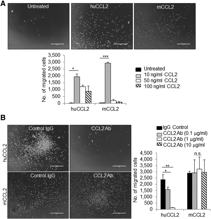 Neutralizing antibodies inhibit THP1 cell migration induced by recombinant human CCL2 protein. (A) THP1 cells were stimulated with increasing concentrations of human (hCCL2) or mouse (mCCL2) recombinant CCL2 protein and analyzed for Transwell migration after 2 hours. Representative images of cells migrated into lower chamber are shown. (B) THP1 cells were stimulated with 10 ng/ml hCCL2 or mCCL2 in the presence or absence of increasing doses of CCL2-neutralizing antibodies or control IgG and analyzed for Transwell migration. Representative images of cells treated with CCL2 and 1 μg/ml control IgG or CCL2-neutralizing antibodies. Statistical analysis was performed using one-way ANOVA test with Bonferonni post hoc comparison. Statistical significance was determined by * P