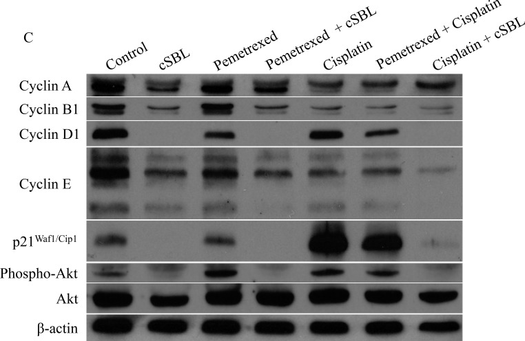 Pemetrexed, cisplatin, and cSBL, either alone or in combination, alter cell cycle dynamics in H28 cells Cells were treated with pemetrexed (20 μM), cisplatin (40 μM), or cSBL (1 μM) for 72 h. ( A , B ) Flow cytometry analysis of cell cycle progression in H28 cell lines after 72 h of treatment. ( C ) Western blot analysis of cyclin (A, B1, D1, and E), p21 Waf1/Cip1 , pan-Akt, and phospho-Akt levels.