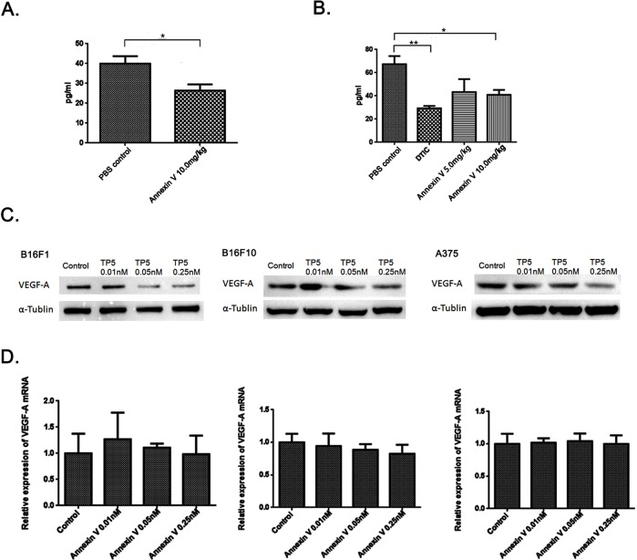 Annexin V downregulates VEGF expression at protein level, not at transcriptional level (A) Serum levels of VEGF in normal mice injected with 10.0 mg/kg Annexin V detected by ELISA (Mean ± SEM, n=8, **p