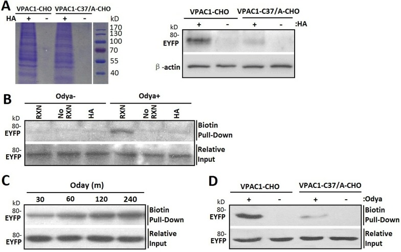 Cys37 in VPAC1 is S-palmitoylated determined by acyl-biotin exchange assay and click chemistry palmitolaytion assay ( A ) After the biotinylated proteins from VPAC1-CHO and VPAC1-C37/A-CHO subjected to the acyl-biotin exchange assay with (HA+) or without (HA-) hydroxylamine treatment were pulled down by <t>streptavidin-agarose</t> and electrophoresed by SDS-PAGE (left) and then detected using anti-EYFP antibody (right), VPAC1-EYFP was significantly detectable, while VPAC1-C37/A-EYFP is almost undetectable, indicating that Cys37 was palmitoylated. And the negative interference of HA showed that the acyl-biotin exchange assay was HA depended and the palmitoylation of Cys37 is via hydroxylamine-sensitive thioester bond. ( B ) VPAC1-CHO cells were incubated for 12 hours with (Odya+) or without (Odya-) palmitate ortholog. Samples were divided and either not biotinylated through the click reaction (No RXN), reduced prior to the reaction with HA, or biotinylated and not reduced (RXN). Only samples treated with RXN without HA showed significant signal, supporting the specificity of the click chemistry palmitolaytion assay. Relative equal inputs without click chemistry palmitolaytion assay were detected using anti-EYFP antibody. ( C ) After VPAC1-CHO cells were incubated with Odya for 30, 60, 120 and 240 min hours, click reaction was performed followed by biotin pull-down and western blot analysis for EYFP. The time-dependent signals confirmed the technique's validity. Relative equal inputs without click chemistry palmitolaytion assay were detected using anti-EYFP antibody. ( D ) After VPAC1-CHO cells and VPAC1-C37/A-CHO cells were incubated with (Odya+) or without (Odya-) palmitate ortholog, click reaction was performed followed by biotin pull-down and western blot analysis for EYFP. VPAC1-EYFP was significant detectable, while VPAC1-C37/A-EYFP was almost undetectable, indicating the palmitoylation of Cys37 was determined by the click chemistry palmitolaytion assay. Relative equal inputs without click chemistry palmitolaytion assay were detected using anti-EYFP antibody. Representative blots from at least three independent experiments are shown.