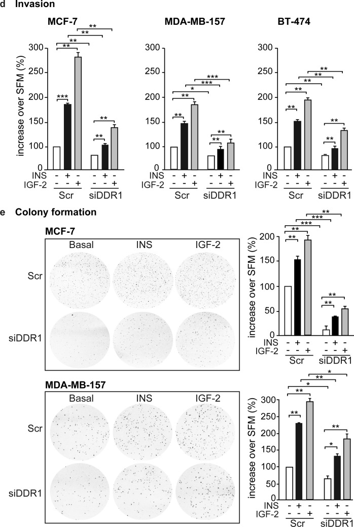 DDR1 depletion affects insulin and IGF-2 mediated biological effects in human cancer cells (a) Western blot before and after DDR1 depletion. MCF-7, MDA-MB-157 and BT-474 breast cancer cells were transiently transfected with either a pool of four DDR1 siRNA oligos or scramble siRNA oligos. After 24h, cells were grown in medium containing 2.5% of CS-FCS for 24h. DDR1 depletion was confirmed for each cells line by western blot analysis as shown in the panel. (b) Cell proliferation. Cell viability was evaluated by MTT assay. Values are expressed as percentages of untreated scramble-transfected cells (basal) and represent the mean±SEM of three independent experiments in triplicate. (c) Cell cycle progression. MCF-7, MDA-MB-157 and BT-474 breast cancer cells were transiently transfected as in (a) . After 24h, cells were grown in medium containing 0.1% of BSA for additional 24h. Cells were then incubated with or without insulin or IGF-2 at a dose of 10nM for additional 48h and analyzed for cell-cycle profiles. Cell populations positive for propidium iodine staining were evaluated by FACS analysis, and G0/G1 and G2/M phases were scored. The graph shows the percentage of cells in S and G2/M phases. Values are expressed as percent of basal (untreated scramble transfected cells) and are the mean±SEM of three independent experiments. (d) Cell invasion. MCF-7, MDA-MB-157 and BT-474 breast cancer cells were transiently transfected as in (a) . After 24h, cells were grown in medium containing 0.1% of BSA for additional 24 h. Cells were then removed from plates with 0.01% trypsin and seeded on polycarbonate filters coated with 25μg/mL fibronectin. Cells were allowed to migrate for 6h (MCF-7 and MDA-MB-157) or 8h (BT-474 cells) in response to 10nM of insulin or IGF-2 added to the lower chamber. Values are mean±SEM of three independent experiments done in duplicate and are expressed as percent increase over untreated scramble cells (basal). (e) Colony formation. MCF-7, MDA-MB-157 and BT-474 breast cancer cells were transiently transfected as in (a) , and seeded in soft-agar, as described in Materials and Methods. Cells were plated in triplicate and cultured in serum free medium containing 2.5% CS-FCS for 3 weeks. Colonies developed only from plated MCF-7 and MDA-MB-157 cells but not from BT-474. Colonies were stained with MTT and then photographed. The histogram represents the mean number of colonies shown in (e) . Error bars indicate SEM (n = 3 wells). (b-e) *0.01