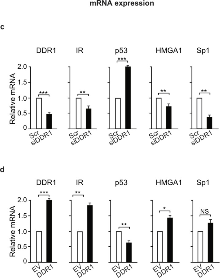 DDR1 affects IR – dependent transcription factors (a) Protein levels of IR-dependent transcription factors after DDR1 depletion. MCF-7 breast cancer cells were transiently transfected with either a pool of four scramble or four DDR1 specific siRNA oligos. After 48h, protein expression of IR, and of p53, HMGA, and Sp1 transcription factors was evaluated by western blotting. The histograms represent the mean±SEM of densitometric analysis of three independent experiments after normalization against β-actin. (b) Protein levels of IR-related transcription factors after DDR1 overexpression. MCF-7 cells were transiently transfected with either either pCMV6-EV or pCMV6-DDR1 encoding vectors. After 48h, protein expression of IR, p53, HMGA, and Sp1 was evaluated by western blotting. The histograms represent the mean±SEM of densitometric analysis of three independent experiments after normalization against β-actin. (c) mRNA expression of IR-related transcription factors after DDR1 depletion. MCF-7 cells transfected as in (a) were evaluated by qRT-PCR analysis for IR, p53, HMGA, and Sp1 mRNA levels. Values were normalized using human β-actin as housekeeping control gene. DDR1 mRNA levels were also evaluated as control for DDR1 depletion efficiency. Values represent the mean±SEM of three independent experiments. (d) mRNA expression of IR-related transcription factors after DDR1 overexpression. In cells transfected as in (b) , IR, p53, HMGA, and Sp1 mRNA levels were evaluated by qRT-PCR analysis and values were normalized using human β-actin as housekeeping control gene. DDR1 mRNA levels were also evaluated as silencing control. Values represent the mean±SEM of three independent experiments. (a-d) NS, p > 0.05; *0.01