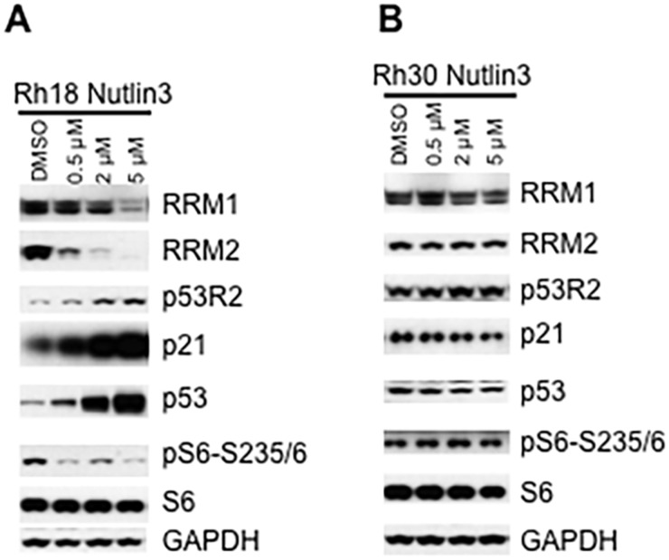 Inhibition of HDM2 by nutlin-3 decreases RRM1 and RRM2 in cancer cells with wild type TP53 (A) Rh18 cells were treated with different concentrations of nutlin-3 as indicated for 24 hr. Total proteins were extracted for immunoblotting of RRM1, RRM2, γH2AX, p21, p53R2, p53, S6, pS6-235/6 and 4E-BP1. (B) Rh30 cells were treated with different concentrations of nutlin-3 as indicated for 24 hr. Total proteins were extracted for immunoblotting of RRM1, RRM2, γH2AX, p21, p53R2, p53, S6, pS6-235/6 and 4E-BP1. GAPDH and Actin served as loading controls.
