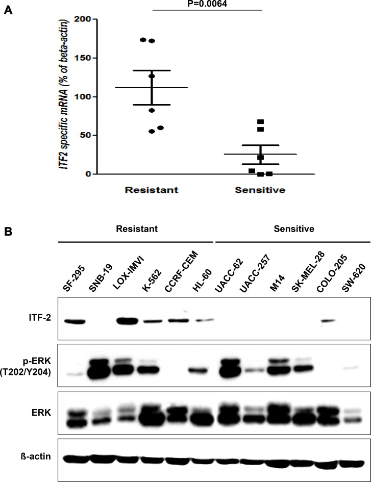 Basal levels of ITF-2 in AZD6244 resistant and sensitive cell lines ( A ) Relative expression of endogenous ITF-2 mRNA in each indicated cell line based on the expression in SW620. Each sample was tested in triplicate, and gene expression levels were normalized to those of β-actin mRNA. The mRNA levels of ITF-2 in AZD6244 resistant cell lines were significantly higher than those in sensitive cell lines. Statistical significances are calculated by the Mann-Whitney U -test. ( B ) Equal amounts of total cellular proteins were subjected to western blot analysis for ITF-2, and phospho-specific and total ERK1/2. ITF-2 was elevated in AZD6244 resistant cell lines except SNB-19, but the p-ERK levels were not significantly different according to the sensitivity to AZD6244. Beta-actin was included as a loading control.